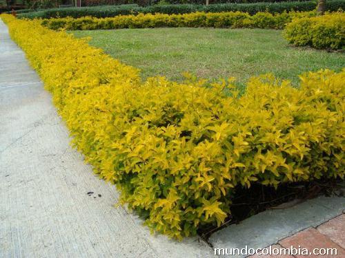 Plantas para setos y cercas en medell n tel fono - Plantas para setos altos ...
